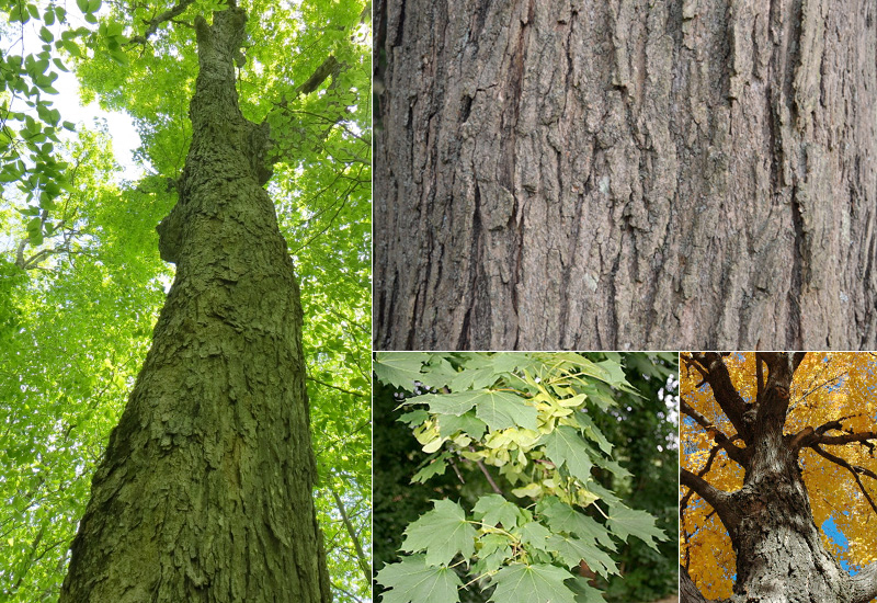 Maple Wood Tree ~ Determining hard maple quality and pricing timber works