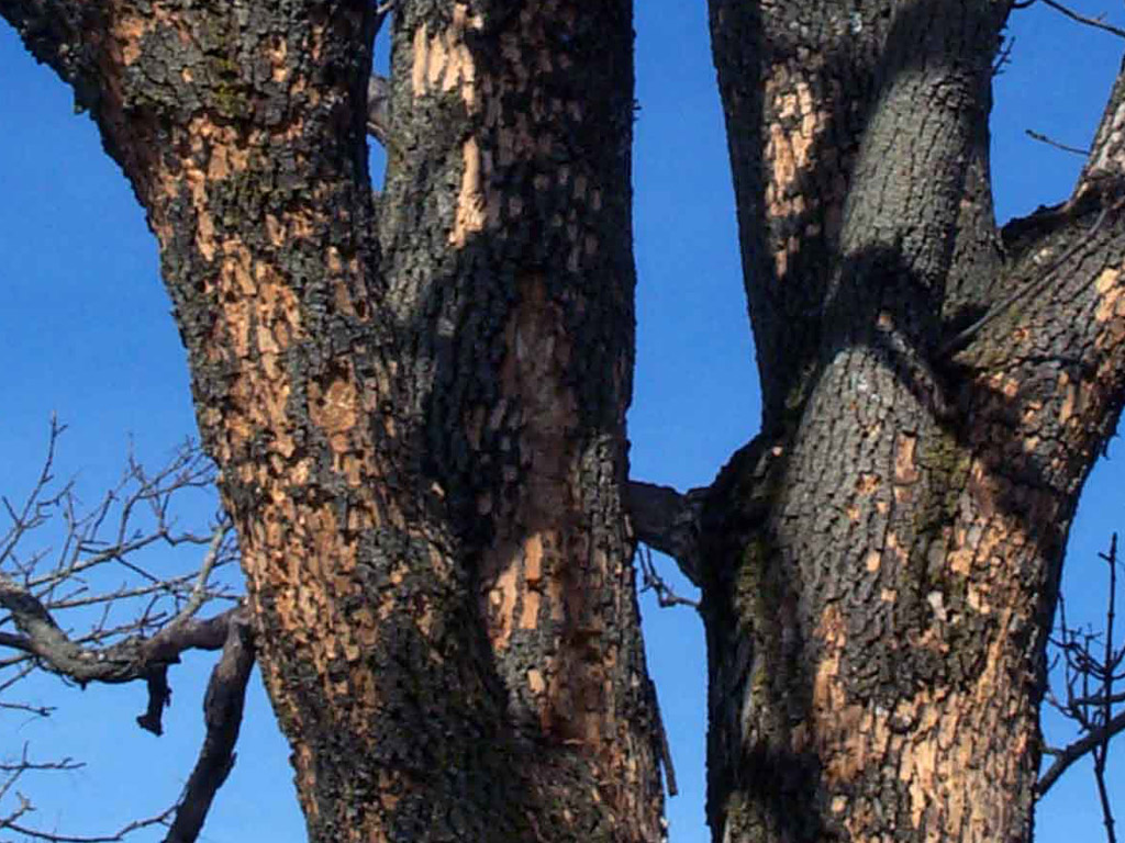 emerald ash borer severe damage